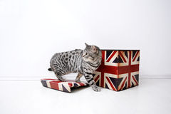 British Shorthair male. And a Union Jack box against a white background Royalty Free Stock Photo