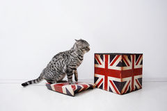 British Shorthair male Royalty Free Stock Images
