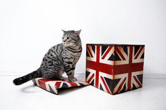 British Shorthair male Royalty Free Stock Image