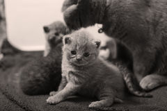 British Shorthair mom with babies Royalty Free Stock Images