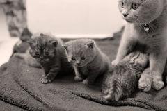 British Shorthair mom with babies Stock Image