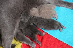 Cat feeds her new borns, first day of life. British Shorthair mom cat feeding her kittens. Colored towels royalty free stock photos