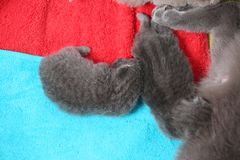 Cat feeds her new borns, first day of life. British Shorthair mom cat feeding her kittens. Colored towels stock image