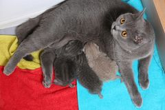 Cat feeds her new borns, first day of life. British Shorthair mom cat feeding her kittens. Colored towels royalty free stock photo