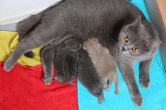 Cat feeds her new borns, first day of life. British Shorthair mom cat feeding her kittens. Colored towels stock photos