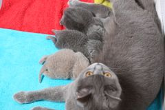 Cat feeds her new borns, first day of life. British Shorthair mom cat feeding her kittens. Colored towels stock photo