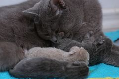 Cat feeding her new borns, first day of life. British Shorthair mom cat feeds her kittens stock image