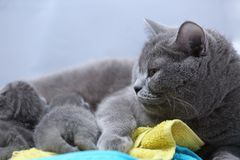 Cat feeding her new borns, first day of life. British Shorthair mom cat feeds her kittens on colored towels royalty free stock photography