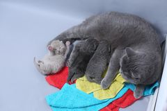 Cat feeding her new borns, first day of life. British Shorthair mom cat feeds her kittens on colored towels stock photos