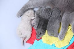 Cat feeding her new borns, first day of life. British Shorthair mom cat feeds her kittens on colored towels royalty free stock image