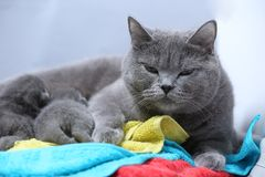 Cat feeding her new borns, first day of life. British Shorthair mom cat feeds her kittens on colored towels stock images