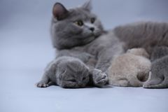 Cat feeding her new borns, first day of life. British Shorthair mom cat feeds her kittens on gray background stock image