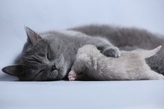 Cat takes care of kittens. British Shorthair mom cat feeds her kittens on gray background stock image