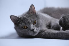 Cat takes care of kittens. British Shorthair mom cat feeds her kittens on gray background stock photos