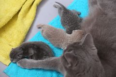 Cat feeding her new borns, first day of life. British Shorthair mom cat feeds her kittens on towels royalty free stock images
