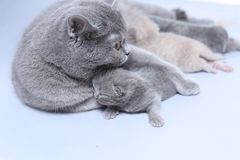 Cat feeding her new borns, first day of life. British Shorthair mom cat feeds her kittens on white background stock photography