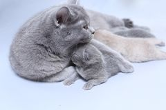 Cat feeding her new borns, first day of life. British Shorthair mom cat feeds her kittens on white background royalty free stock photography