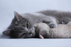 Cat takes care of kittens. British Shorthair mom cat hugs kitten stock photo
