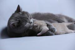 Cat takes care of kittens. British Shorthair mom cat hugs kitten royalty free stock images