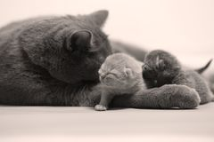Cat hugs her new borns, first day of life. British Shorthair mom cat takes care of her kittens, white background, isolated family portrait stock images