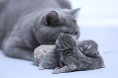 Cat taking care of her new borns, first day of life. British Shorthair mom cat takes care of her kittens, white background, isolated family portrait stock photos
