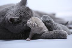 Cat taking care of her new borns, first day of life. British Shorthair mom cat takes care of her kittens, white background, isolated family portrait stock photo