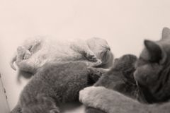Cat takes care of kittens. British Shorthair mom cat taking care of kittens. Paws up royalty free stock photo