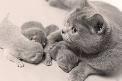 Cat takes care of kittens. British Shorthair mom cat taking care of kittens, photography studio background royalty free stock photo