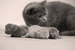 Cat takes care of kittens. British Shorthair mom cat taking care of kittens, photography studio background stock photography