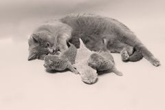 Cat takes care of kittens. British Shorthair mom cat taking care of kittens, photography studio background royalty free stock images