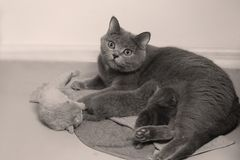 Cat takes care of kittens. British Shorthair mom cat taking care of kittens, photography studio background stock photos