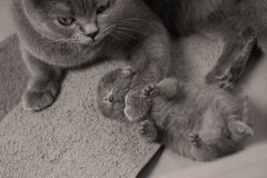 Cat takes care of kittens. British Shorthair mom cat taking care of kittens, photography studio background stock image