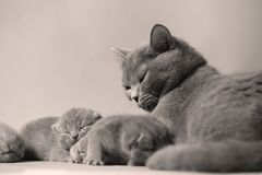 Cat takes care of kittens. British Shorthair mom cat taking care of kittens, photography studio background royalty free stock photos