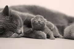 Mother cat hugs kitten. British Shorthair mom cat taking care of kittens, photography studio background royalty free stock photography