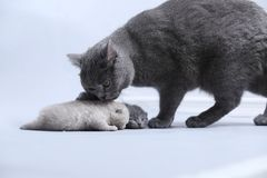 Cat takes care of kittens Royalty Free Stock Photography