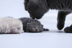 Cat takes care of kittens. British Shorthair mom cat taking care of kittens, white background royalty free stock photography