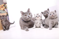 British Shorthair mom with her babies. Mother cat with newly born kittens, British Shorthair, cute portrait Royalty Free Stock Photography