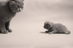 British Shorthair mom with her baby Stock Photos