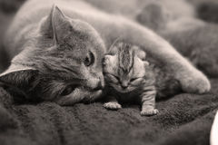 British Shorthair mom hugging her baby Royalty Free Stock Photography