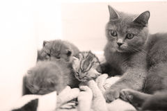 British Shorthair mom hugging her baby royalty free stock photos