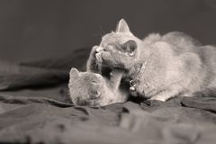 Mother cat playing with her kitten royalty free stock photography