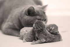 Mother cat takes care of her kittens, first day stock photo