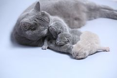 Mother cat takes care of her kittens Royalty Free Stock Photography