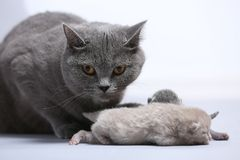 Mother cat takes care of her newly born kittens. British Shorthair mom taking care of her little baby kittens, new born, white background Royalty Free Stock Image