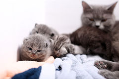 British Shorthair mother with babies Stock Photo