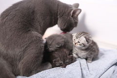 British Shorthair mother with babies Royalty Free Stock Photos