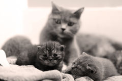 British Shorthair mother with babies Stock Photography