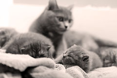 British Shorthair mother with babies Royalty Free Stock Images