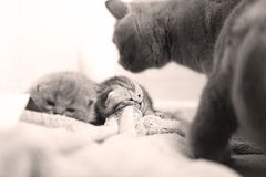 British Shorthair mother with babies Royalty Free Stock Image