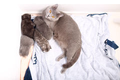 British Shorthair mother with babies Stock Images